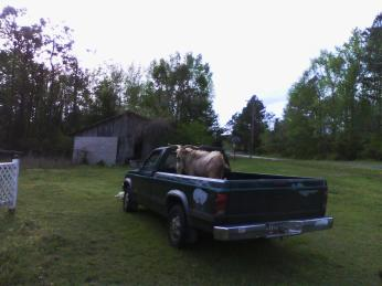 My goat and truck beavers